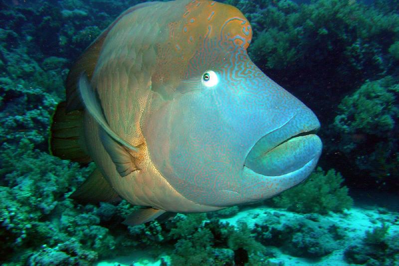 Napoleon Fish - National Park of Ras Mohamed