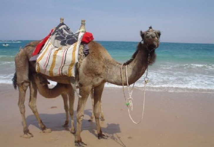 Camel, the Desert Ship